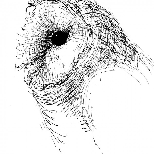 スケッチ メンフクロウ