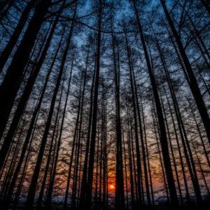 カラマツ林の夕刻