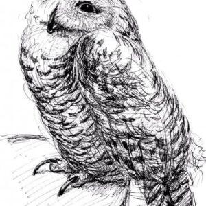 スケッチ シロフクロウ